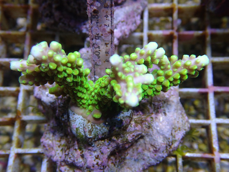 Bleeding Acropora 41