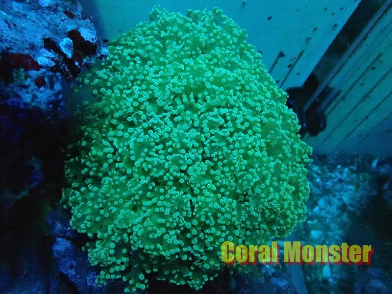 ホンタコアシサンゴ Malaysia 07