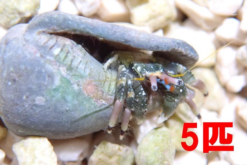ツマジロサンゴヤドカリ 沖縄産 5匹