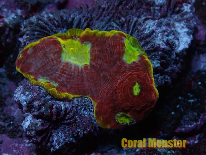 Deepsea Echinophyllia (キッカサンゴ)044