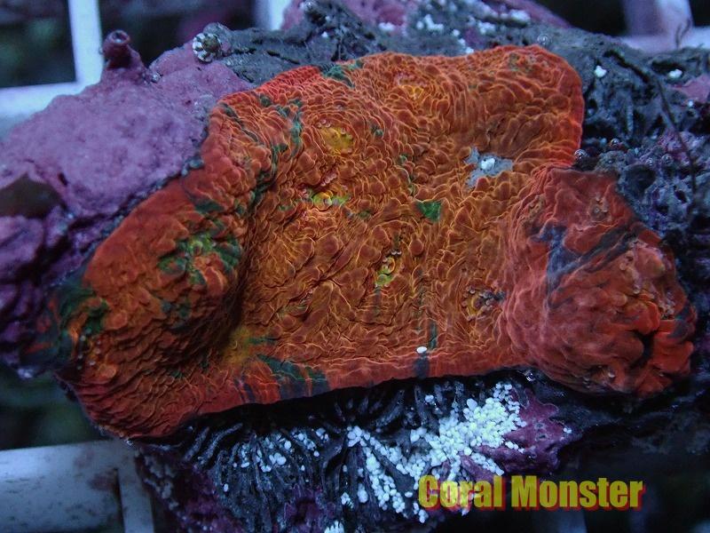 Deepsea Echinophyllia (キッカサンゴ)046
