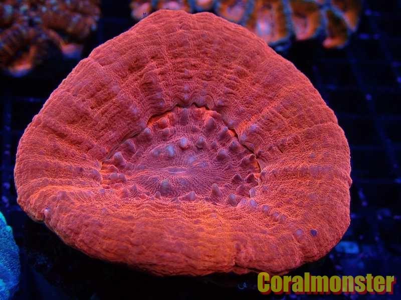 スコリミア(Red) 195 Australia
