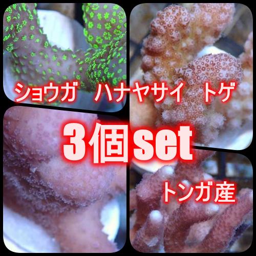 【サンプル画像】ショウガ・ハナヤサイ・トゲ 3個セット