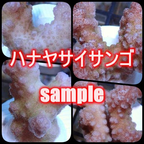 【サンプル画像】ハナヤサイサンゴ(Frag) Pink トンガ産