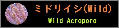 ミドリイシ(Wild)